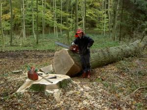 Skovning af Egetræ på Klingstrup